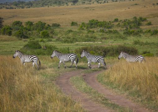 Burchells zebra (equus burchellii) herd migration, Rift valley province, Maasai mara, Kenya