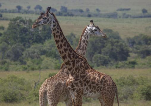 Giraffe (giraffa camelopardalis), Rift valley province, Maasai mara, Kenya