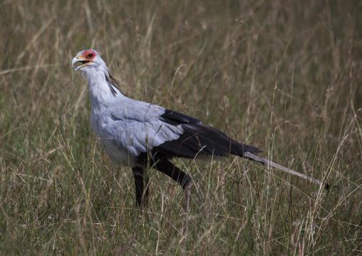 Secretary bird (sagittarius serpentarius), Rift valley province, Maasai mara, Kenya