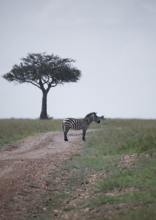 Burchells zebra (equus burchellii) on a path, Rift valley province, Maasai mara, Kenya