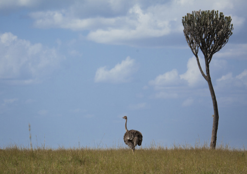 Adult female ostrich (struthio camelus), Rift valley province, Maasai mara, Kenya