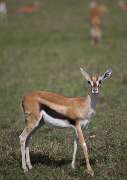 Thomson's gazelle (gazella thomsonii), Rift valley province, Maasai mara, Kenya