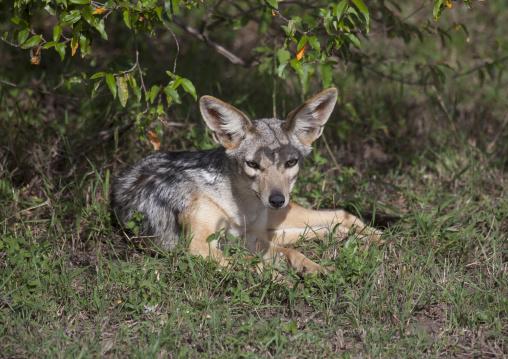 Young black-backed jackal (silver-backed jackal), Rift valley province, Maasai mara, Kenya