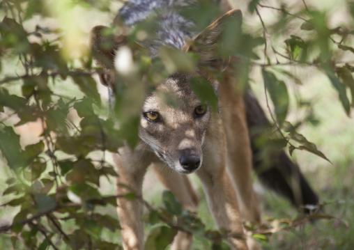 Young black-backed jackal (silver-backed jackal) hiding behind a tree, Rift valley province, Maasai mara, Kenya