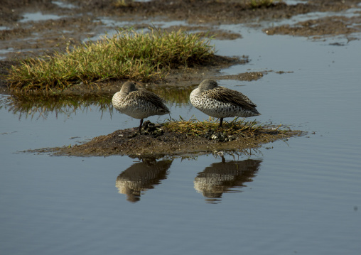 Two ducks sleeping on a little bank, Nakuru district of the rift valley province, Nakuru, Kenya
