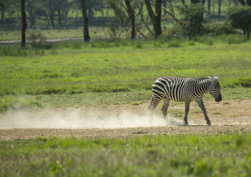 Grant's zebra (equus quagga boehmi), Nakuru district of the rift valley province, Nakuru, Kenya