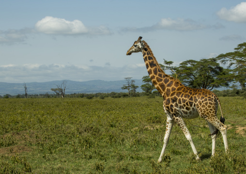 Rothchild's giraffe (giraffa camelopardalis), Nakuru district of the rift valley province, Nakuru, Kenya