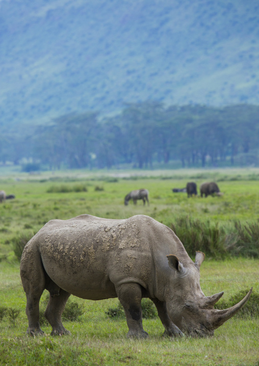 A black rhino (diceros bicornis) eats grass, Nakuru district of the rift valley province, Nakuru, Kenya