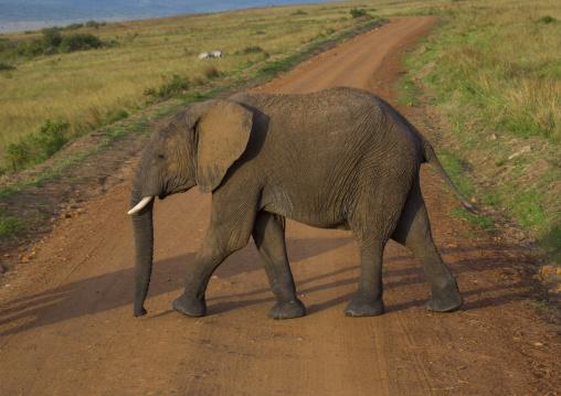 African elephant (loxodonta africana) crossing a road, Rift valley province, Maasai mara, Kenya