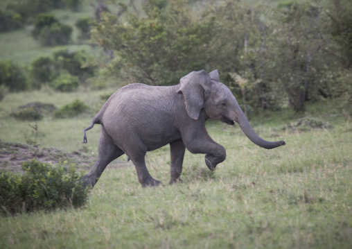 Baby african elephant (loxodonta africana) running, Rift valley province, Maasai mara, Kenya