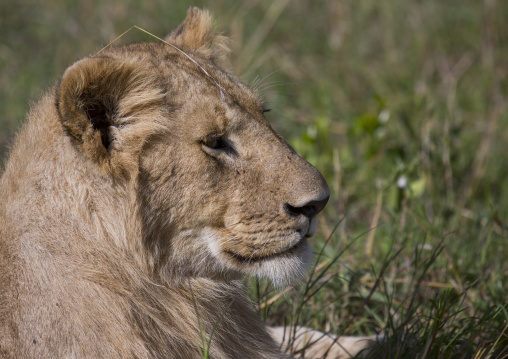 Young lion (panthera leo), Rift valley province, Maasai mara, Kenya