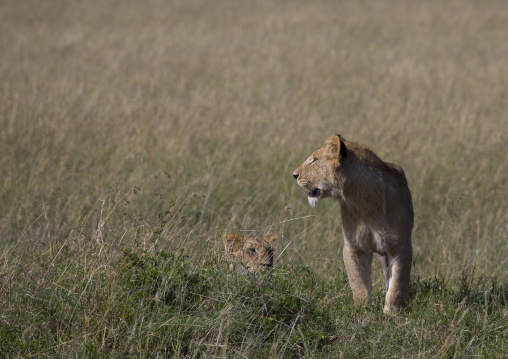 Young lion (panthera leo) hunting, Rift valley province, Maasai mara, Kenya
