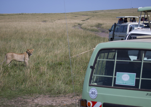 Tourists in a bus watching young lion (panthera leo) passing in the bush, Rift valley province, Maasai mara, Kenya
