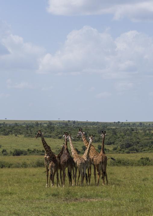 Group of giraffes (giraffa camelopardalis), Rift valley province, Maasai mara, Kenya