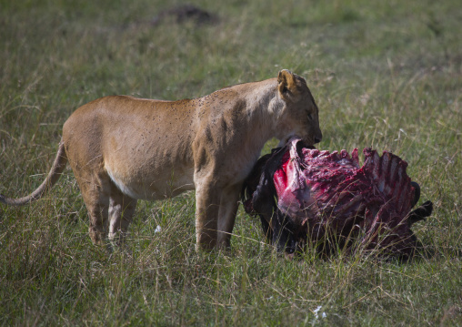 Lioness (panthera leo) eating a wildbeest, Rift valley province, Maasai mara, Kenya