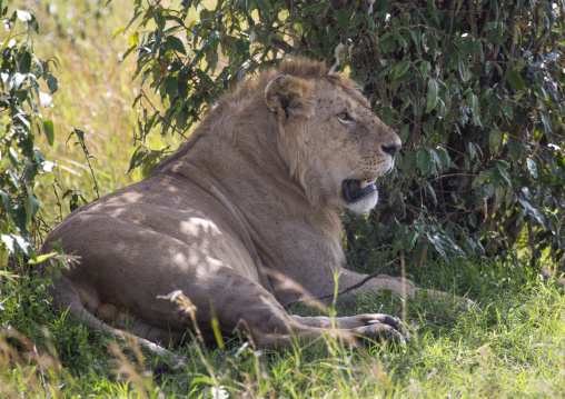 Lion (panthera leo) resting under a tree shadow, Rift valley province, Maasai mara, Kenya