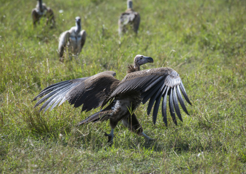 White-backed vulture (gyps africanus), Rift valley province, Maasai mara, Kenya