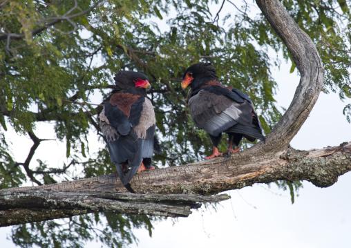 Bateleurs eagles (terathopius ecaudatus) in tree, Rift valley province, Maasai mara, Kenya