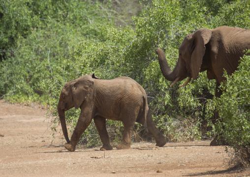 African elephants (loxodonta africana) crossing a road, Samburu county, Samburu national reserve, Kenya
