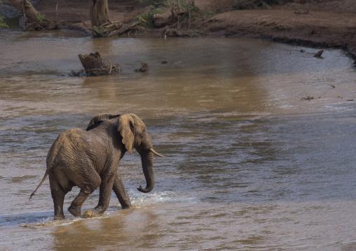 African elephant (loxodonta africana) crossing a river, Samburu county, Samburu national reserve, Kenya
