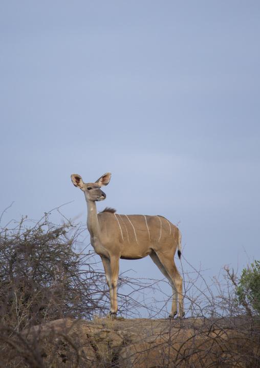 Great kudu female (tragelaphus strepsiceros), Samburu county, Samburu national reserve, Kenya
