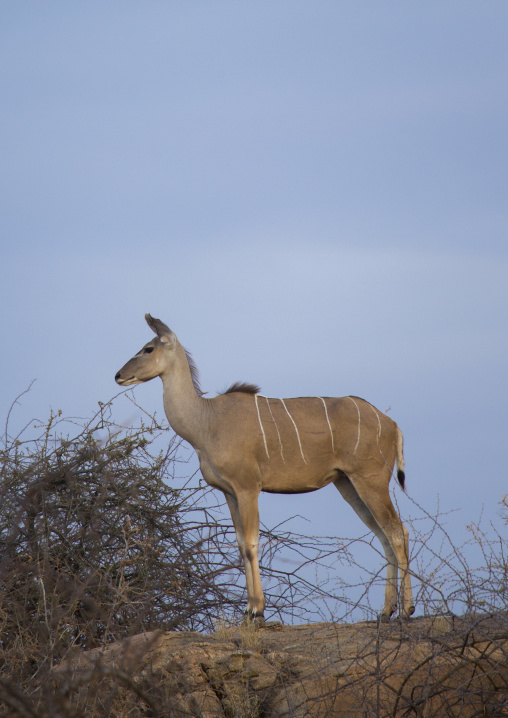 Great kudu female (tragelaphus strepsiceros), Samburu county, Samburu national reserve, Kenya