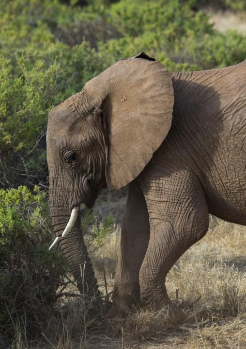 African elephant (loxodonta africana) scratching the ground, Samburu county, Samburu national reserve, Kenya