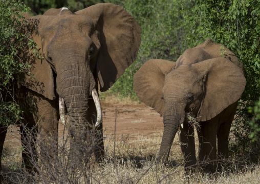 African elephants (loxodonta africana), Samburu county, Samburu national reserve, Kenya