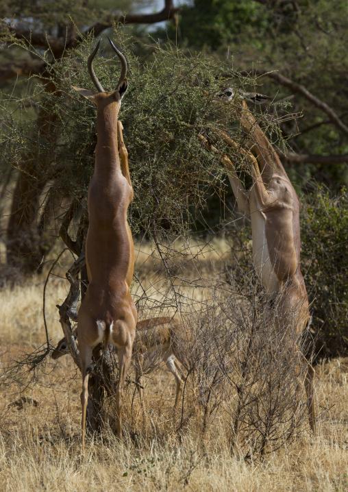 Gerenuk (litocranius walleri) browsing, Samburu county, Samburu national reserve, Kenya