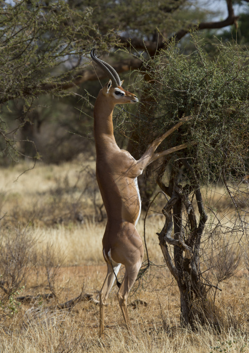 Gerenuk (litocranius walleri) browsing, Samburu county, Samburu national reserve, Kenya