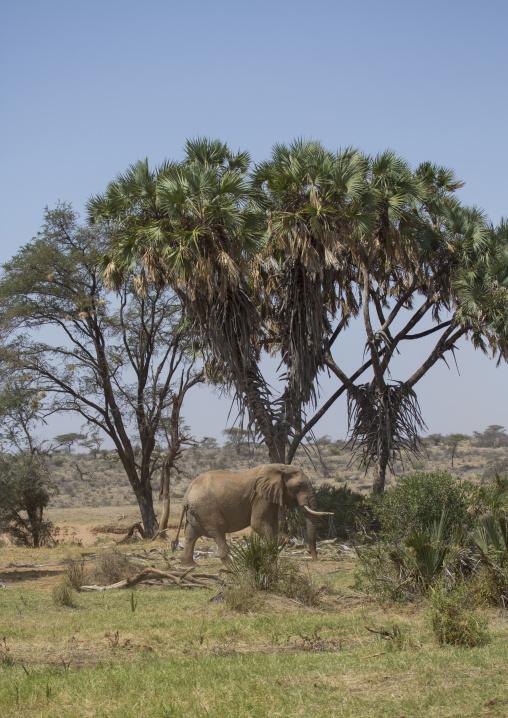 African elephant (loxodonta africana), Samburu county, Samburu national reserve, Kenya