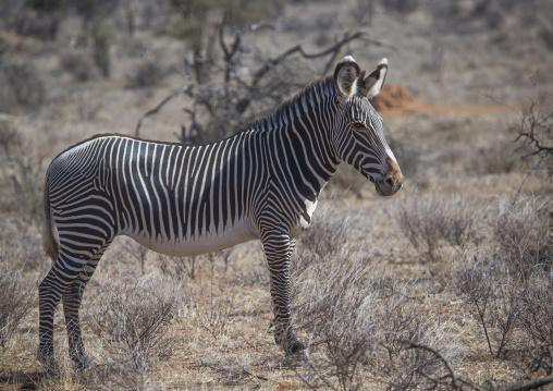 Grevys zebra in the bush, Samburu county, Samburu national reserve, Kenya