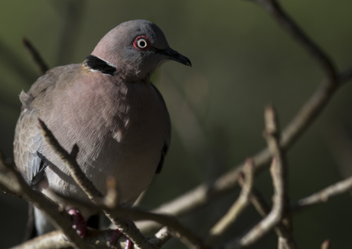 Mourning collared dove (streptopelia decipiens), Baringo county, Lake baringo, Kenya