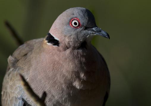 Mourning collared dove (streptopelia decipiens), Baringo county, Lake baringo, Kenya