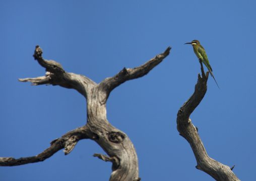Kingfisher perching on deadwood, Baringo county, Lake baringo, Kenya