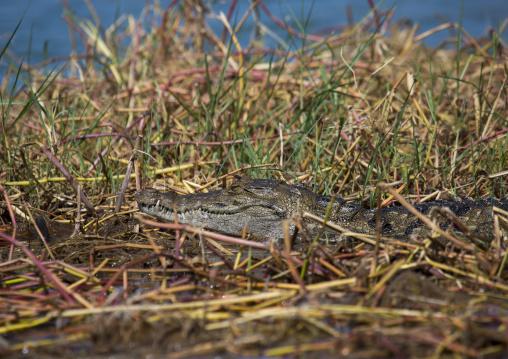 Crocodile (crocodilus niloticus) resting on a bank, Baringo county, Baringo, Kenya