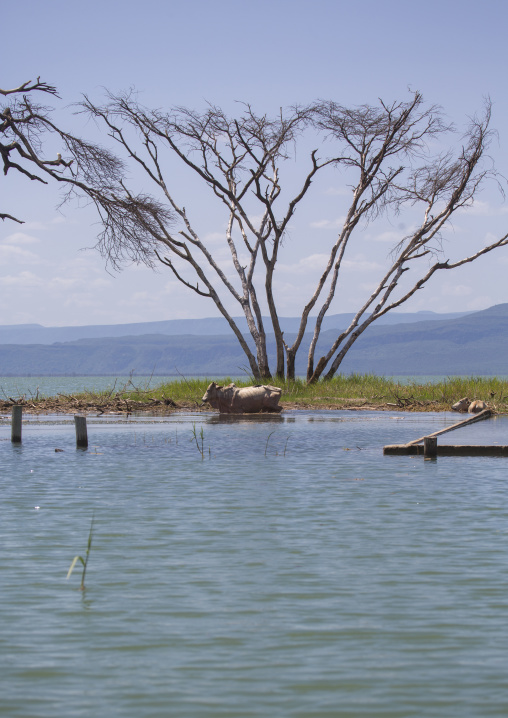 Cows in front of a tree covered by increased water, Baringo county, Baringo, Kenya