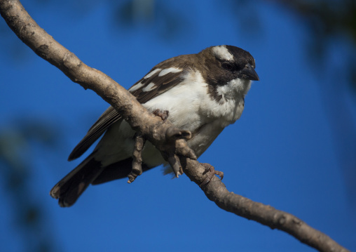 White-browed sparrow-weaver (plocepasser mahali), Baringo county, Lake baringo, Kenya