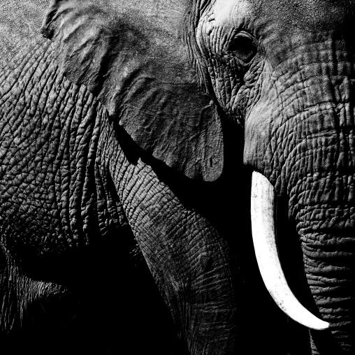 Elephant (Loxodonta africana) close up, Kajiado County, Amboseli park, Kenya