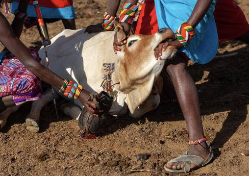 Samburu tribe men taking blood from a cow, Samburu County, Maralal, Kenya