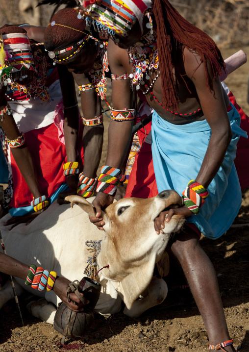 Taking blood from a cow, Samburu tribe kenya