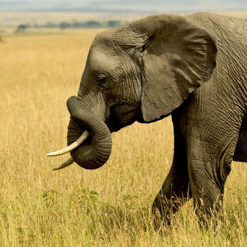 Elephant (Loxodonta africana) in the savannah, Rift Valley Province, Maasai Mara, Kenya