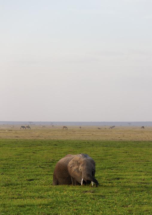 Elephant in a lake covered with grass, Kajiado County, Amboseli park, Kenya