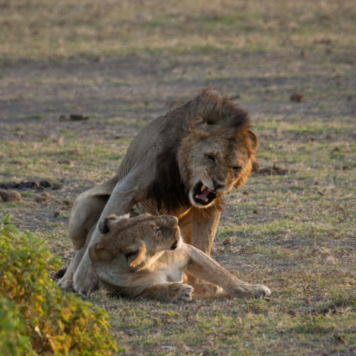 Couple of lions, Kenya