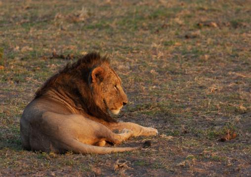 Lion resting, Kajiado County, Amboseli park, Kenya