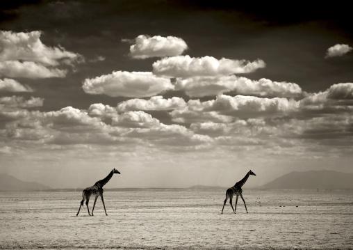 Girafes in amboseli park, Kenya