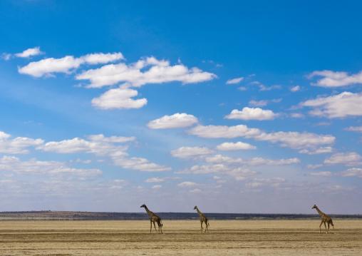 Giraffes against a cloudy sky, Kajiado County, Amboseli park, Kenya