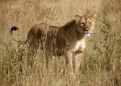 Lioness in the savannah, Rift Valley Province, Maasai Mara, Kenya