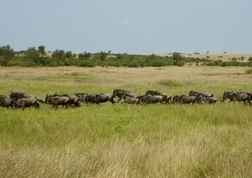 Wildbeasts migration, Kenya