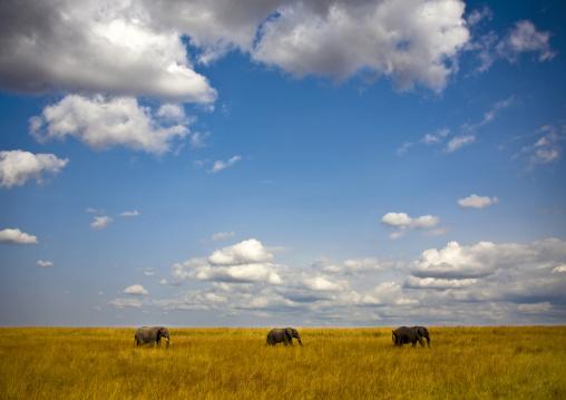 Elephants in line in the savannah, Rift Valley Province, Maasai Mara, Kenya